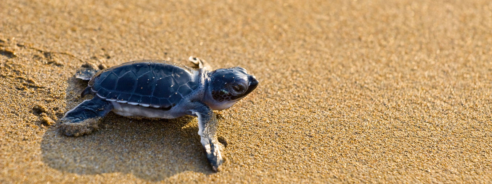 Baby loggerhead turtle walking on sand