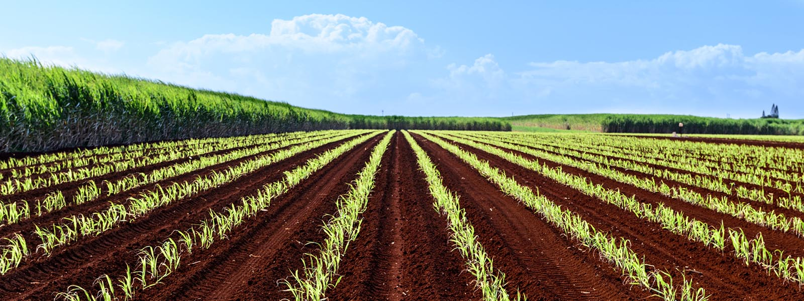 Bundaberg farm cane crop in red soil web
