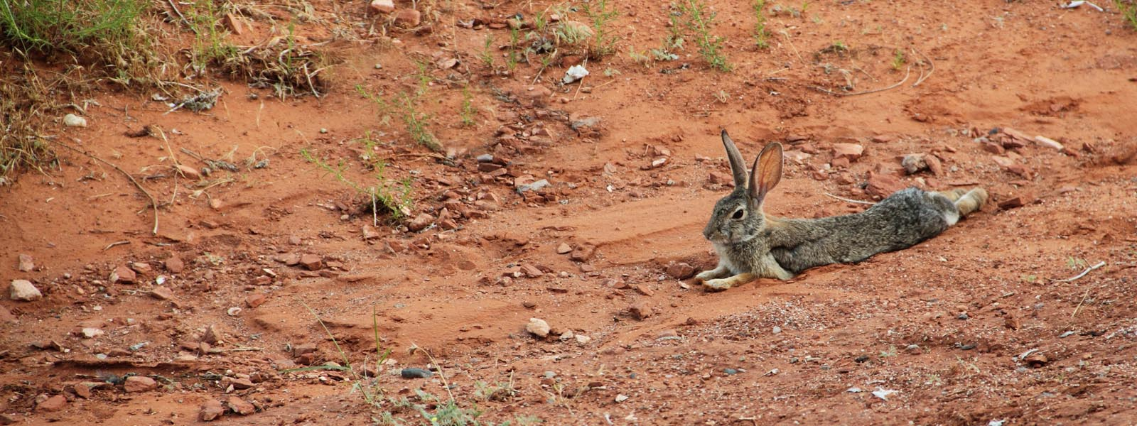 Feral rabbit pest species lying in red dirt web