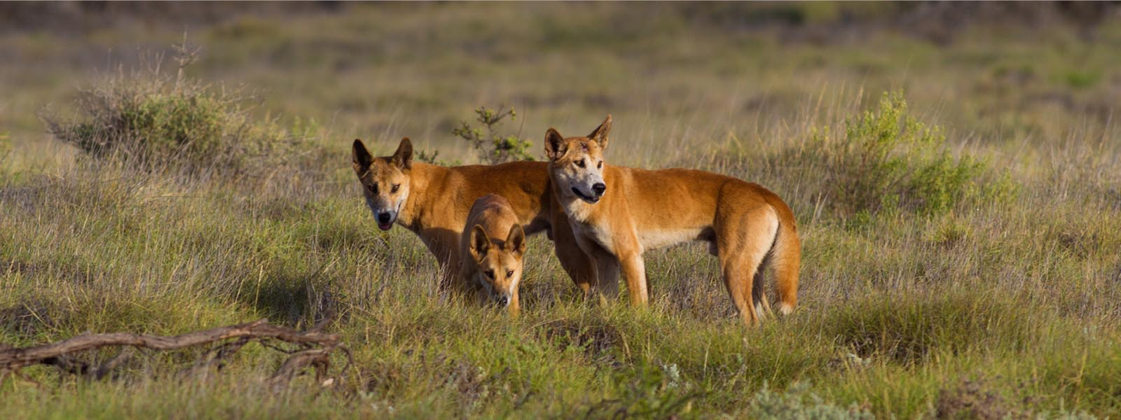 Pack of dingos web