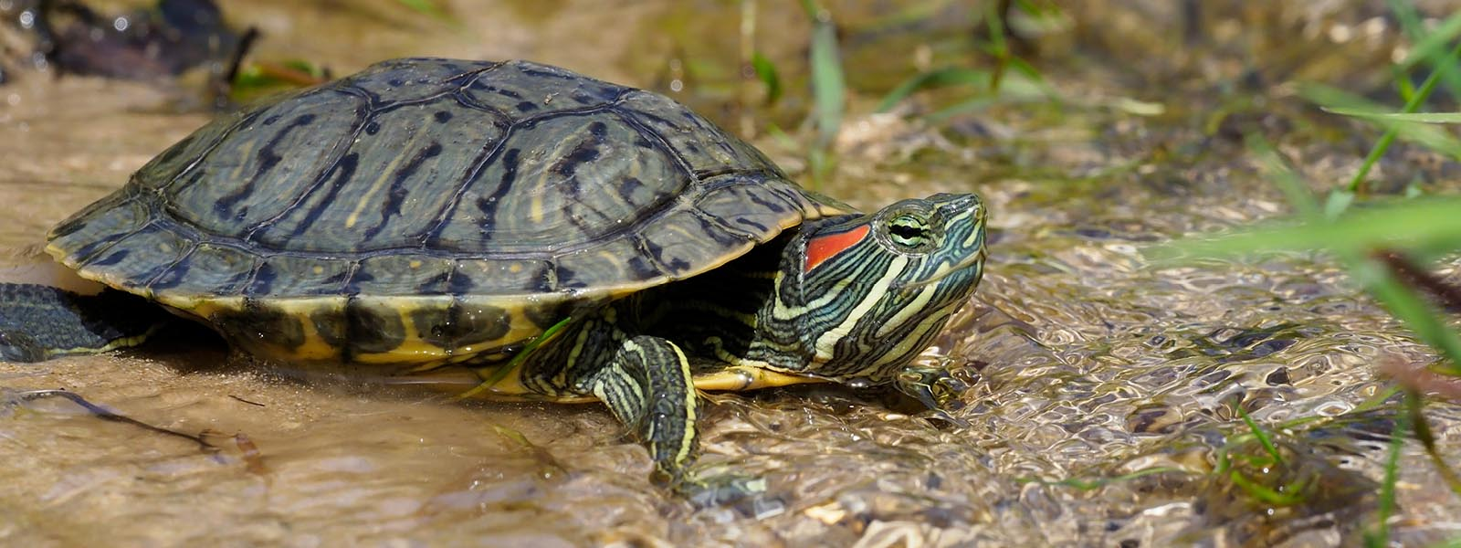 Red eared slider turtle web
